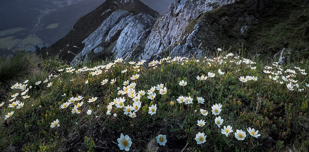 Mountain Aven flower